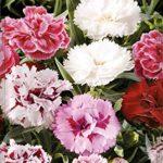 Semillas de Flores – Clavel China Doble Flor grande variado – Batlle