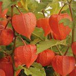 Semillas de Flores – Linterna China – Batlle